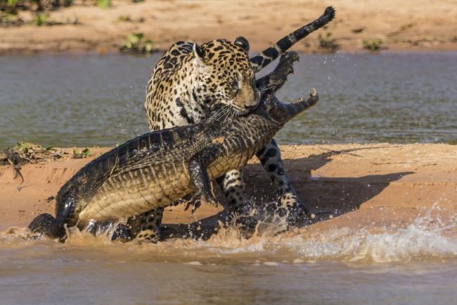 Фото прикол  про ягуара та крокодилів