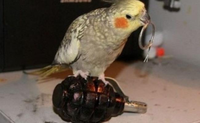Фото прикол  про папуг, гранату чорний