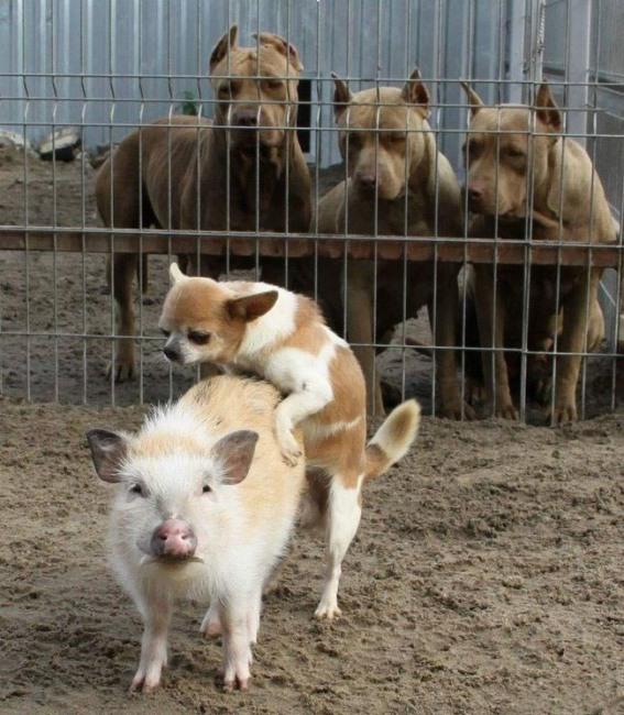 Фото прикол  про свиней та собак