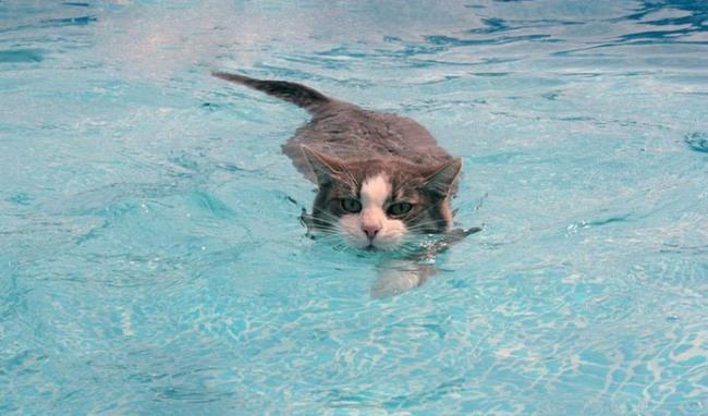 Фото прикол  про котів та плавання