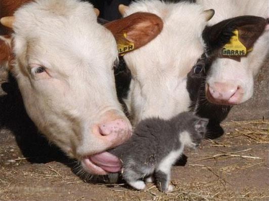 Фото прикол  про корову та котів
