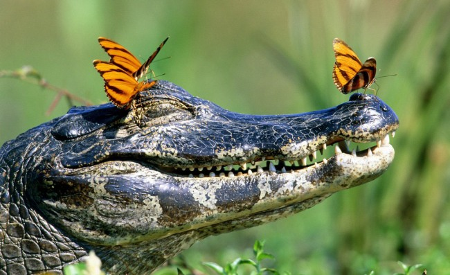Фото прикол  про крокодилів та метеликів