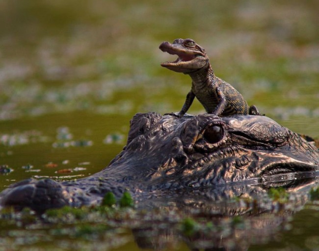 Фото прикол  про крокодилів