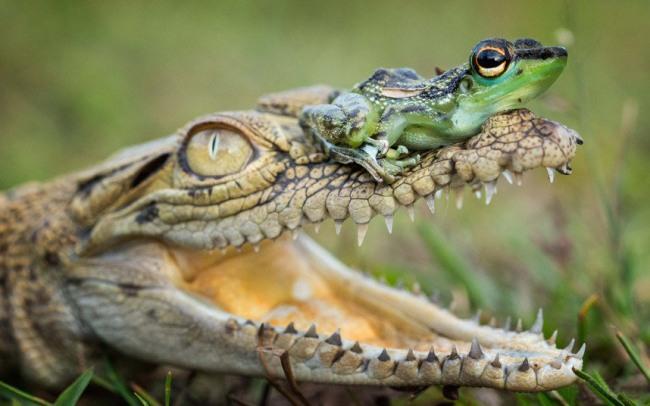 Фото прикол  про крокодилів та жаб