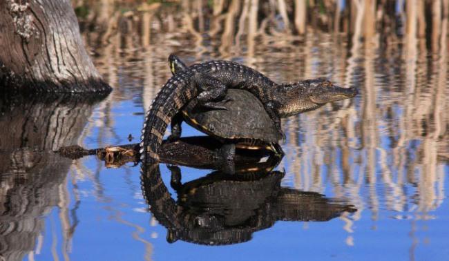 Фото прикол  про крокодилів та черепаху