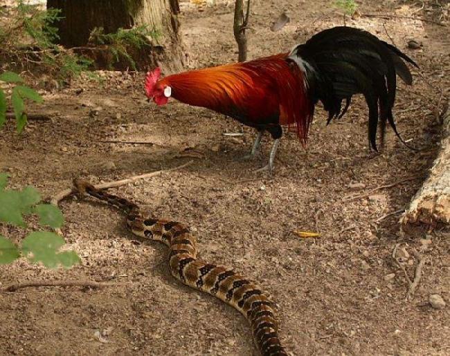 Фото прикол  про півня та змій