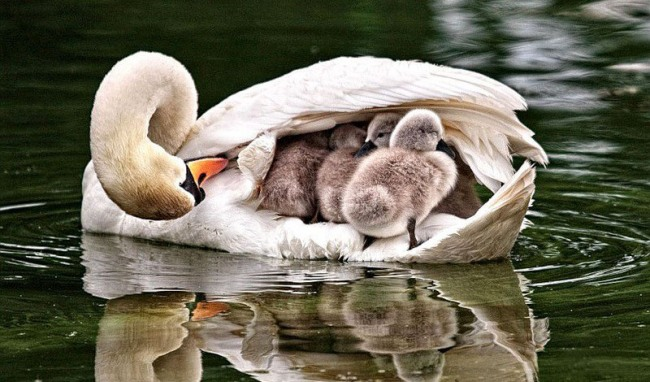Фото прикол  про лебедів