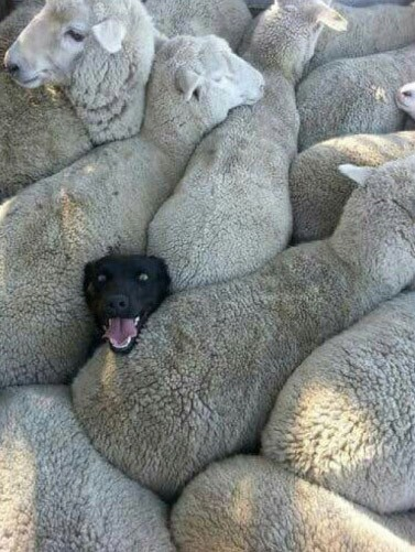 Фото прикол  про собак та овець