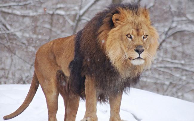Фото прикол  про лева та зиму