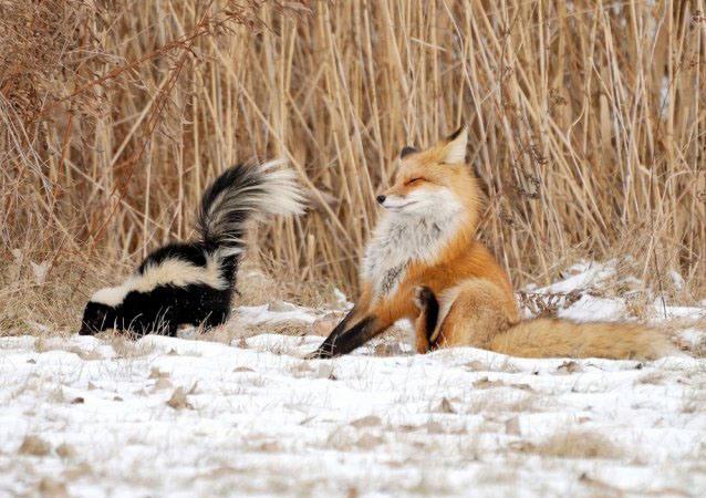 Фото прикол  про лисицю та скунса