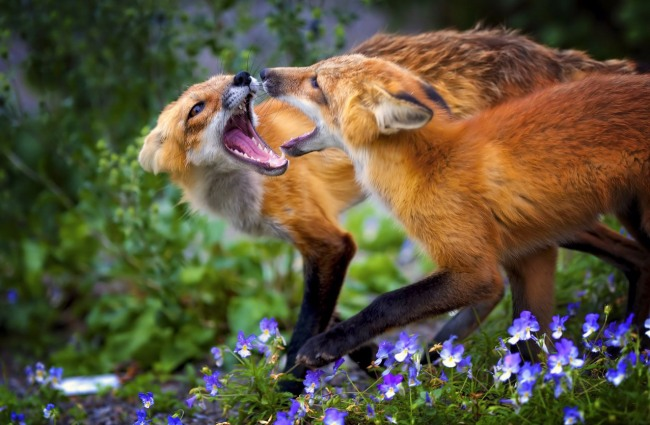 Фото прикол  про лисицю