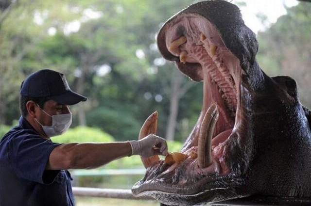 Фото прикол  про бегемота та зуби