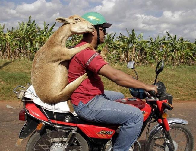 Фото прикол  про мотоциклістів та козу