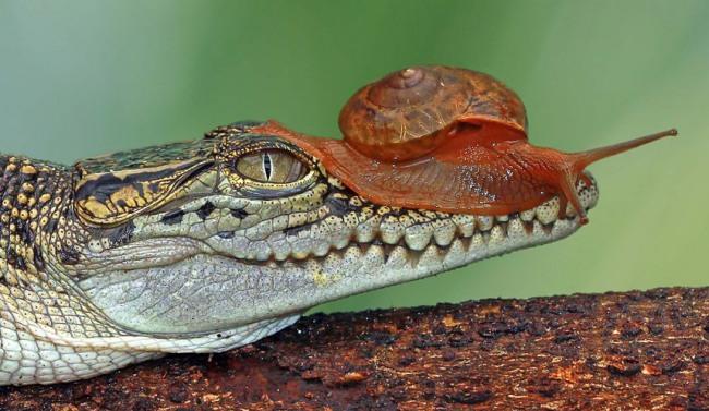 Фото прикол  про крокодилів та равлика