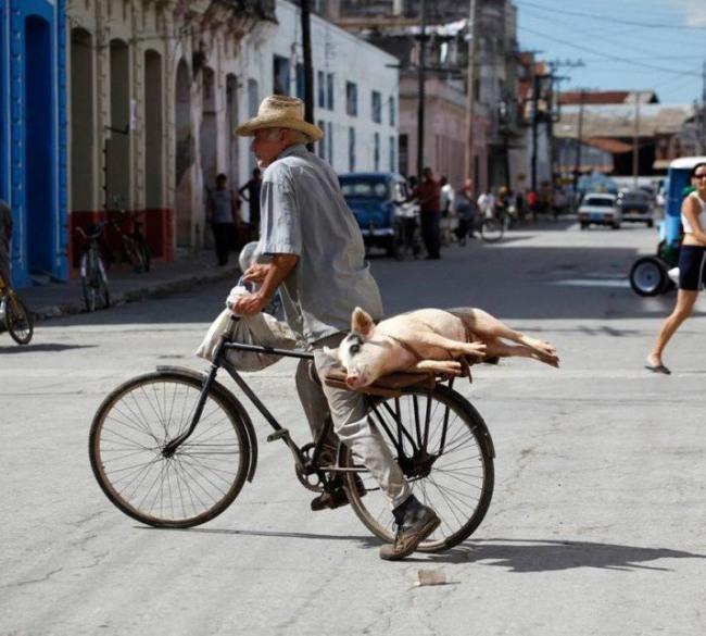Фото прикол  про свиней та велосипед