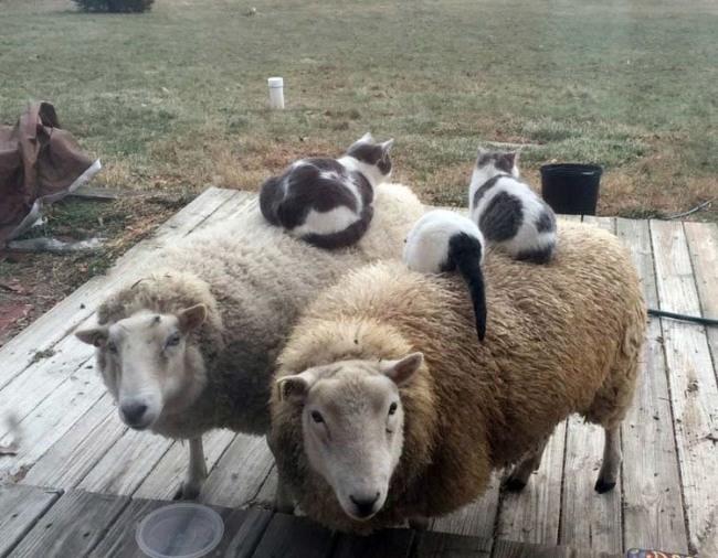 Фото прикол  про овець та котів