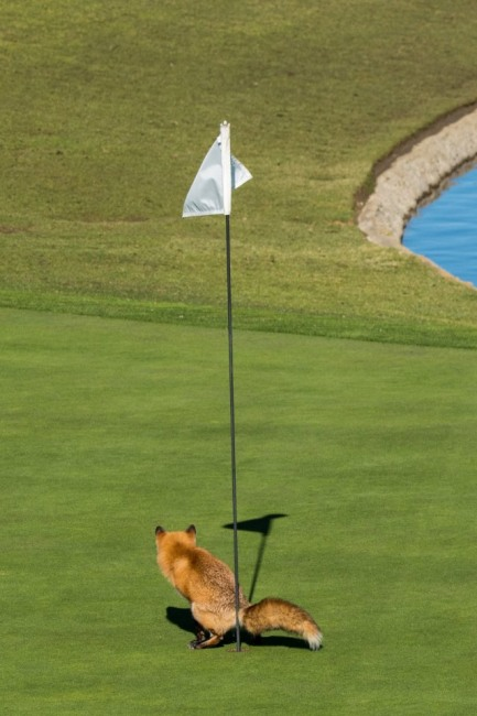 Фото прикол  про лисицю та гольф
