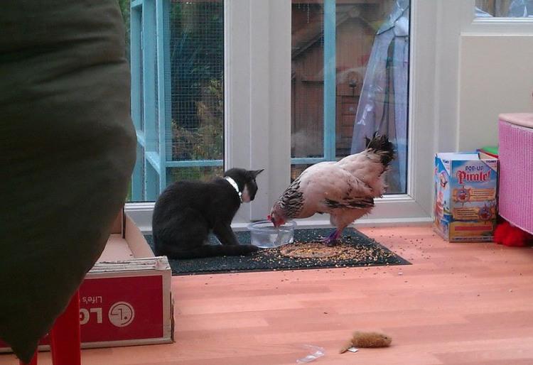 Фото прикол  про котів та кур
