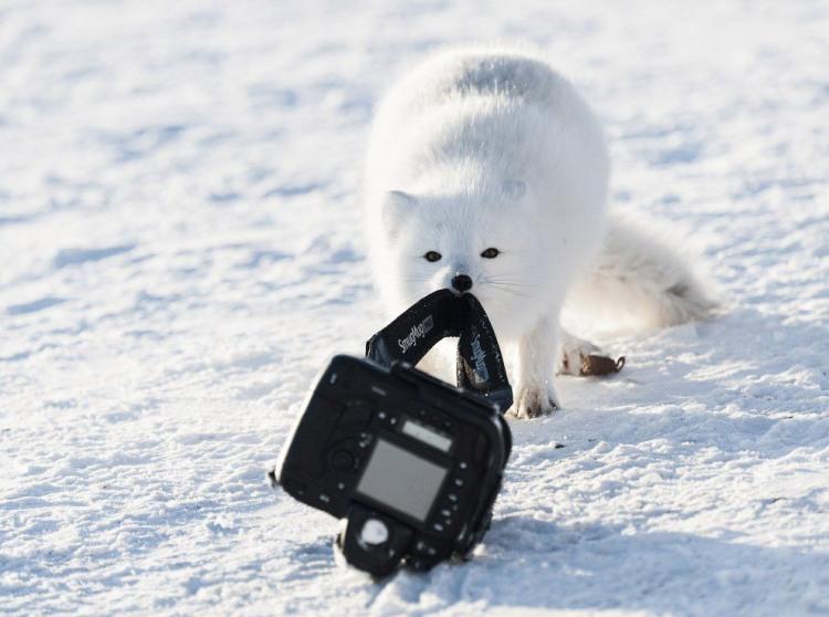 Фото прикол  про песця та фотоапарати