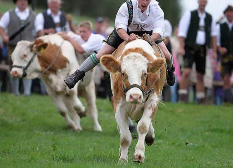 Фото прикол  про корову