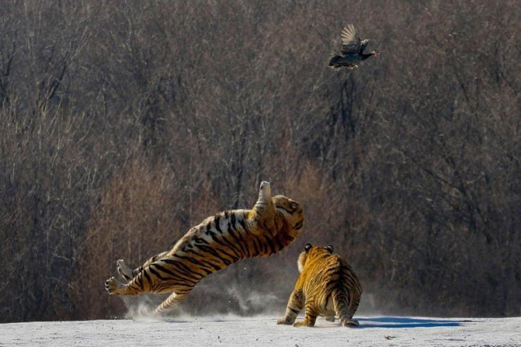 Фото прикол  про тигра та полювання