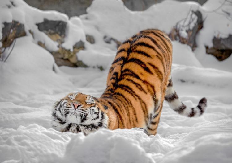 Фото прикол  про тигра та зиму