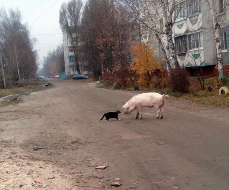 Фото прикол  про свиней та котів