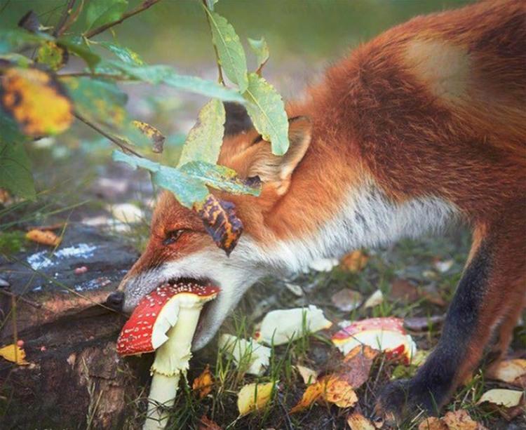 Фото прикол  про лисицю та гриби