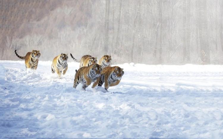 Фото прикол  про тигра та стадо