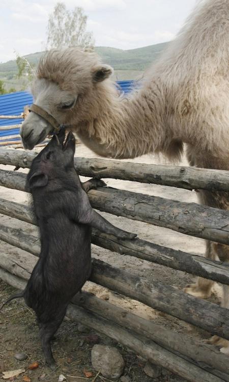 Фото прикол  про кабанів та верблюдів