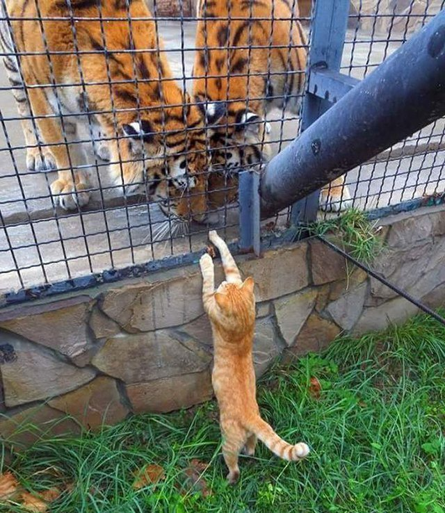 Фото прикол  про тигра та котів