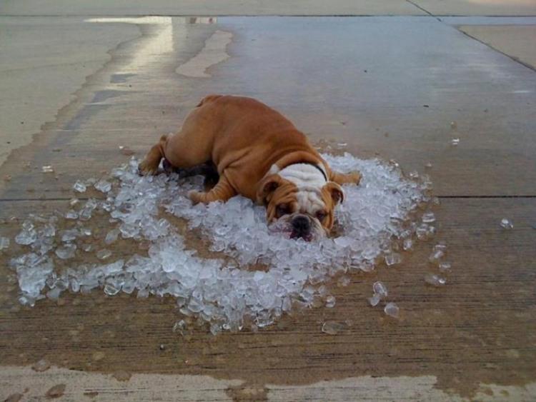 Фото прикол  про собак, лід та спеку