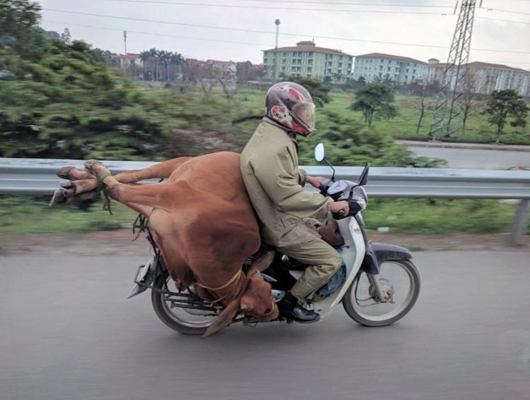 Фото прикол  про мотоцикл та корову