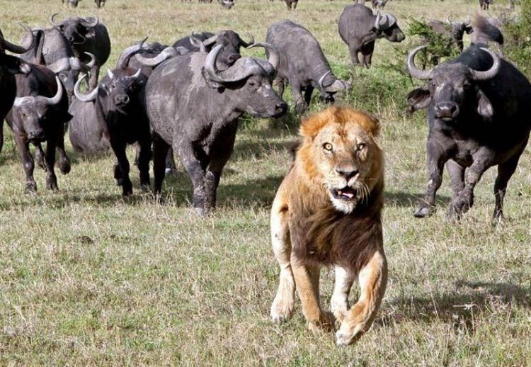 Фото прикол  про лева та бугая