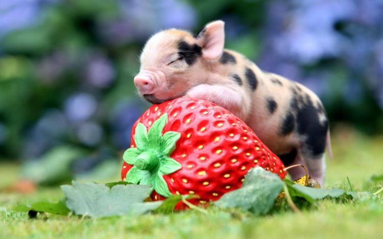 Фото прикол  про свиней та полуницю