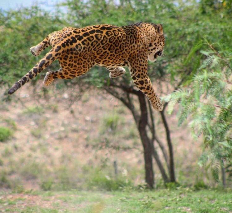 Фото прикол  про леопардів та стрибки