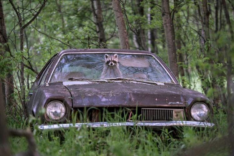 Фото прикол  про єнотів та автомобілі