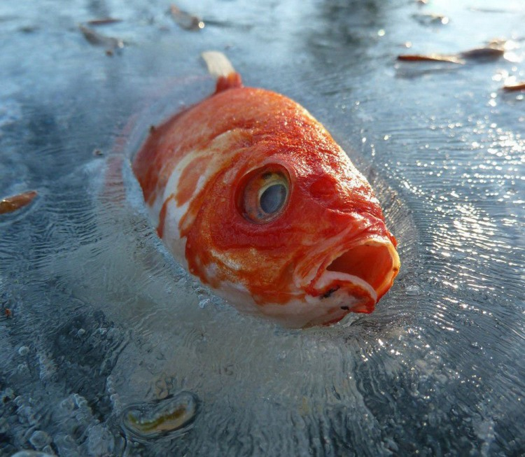 Фото прикол  про рибу, лід чорний
