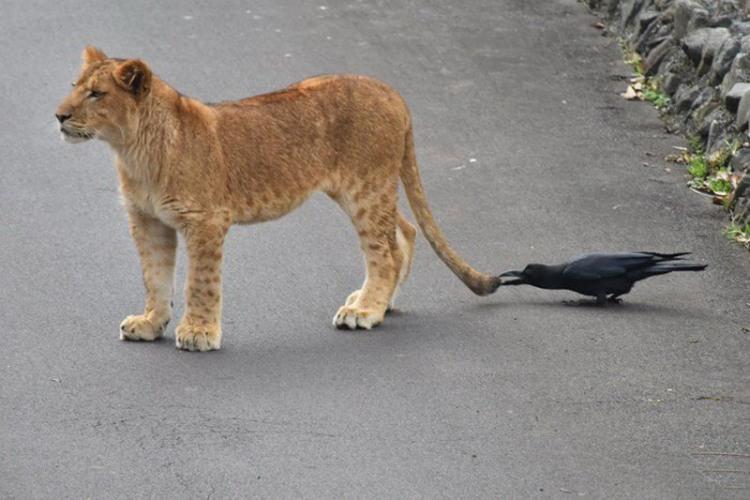 Фото прикол  про лева та ворону