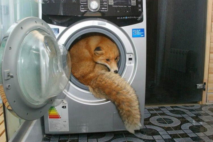 Фото прикол  про лисицю та пральну машину