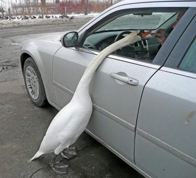 Фото прикол  про гусей
