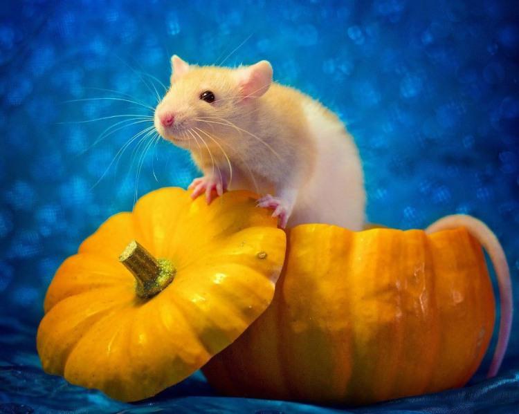 Фото прикол  про щурів та гарбуз