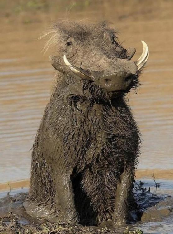 Фото прикол  про кабанів та бруд