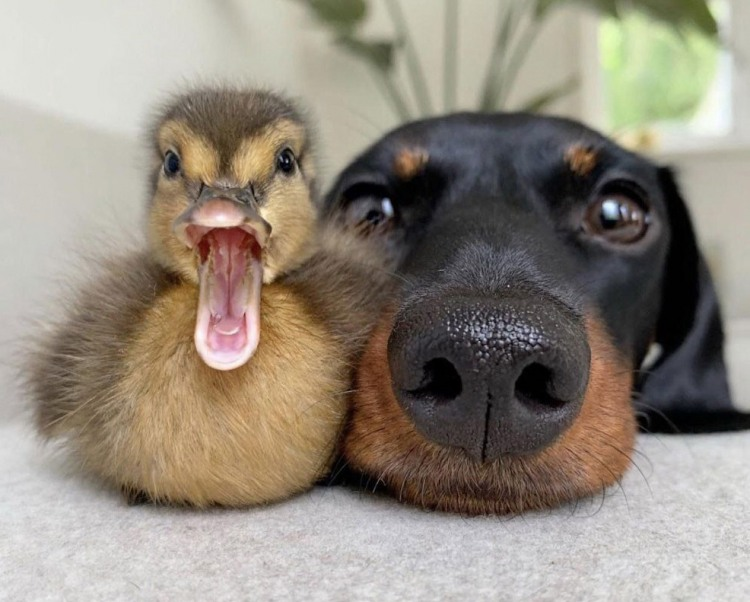 Фото прикол  про собак та качку
