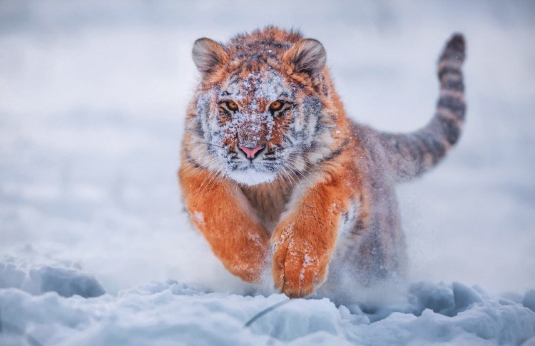 Фото прикол  про тигра та сніг