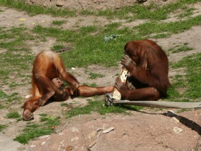 Фото прикол  про мавп та сечовипускання