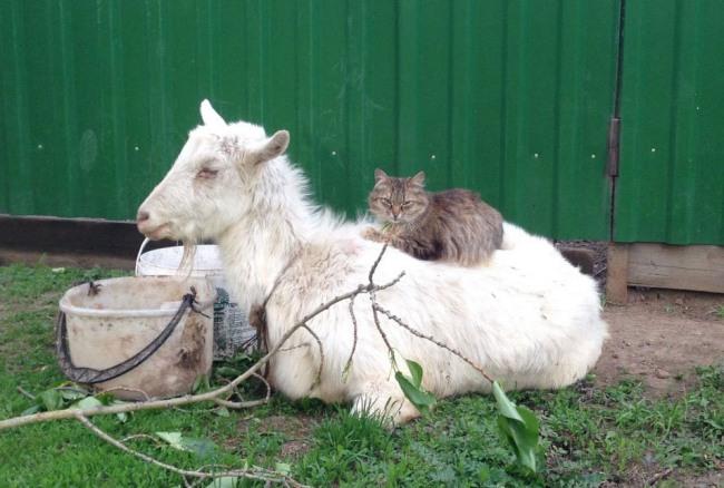 Фото прикол  про козу та котів