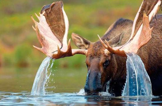 Фото прикол  про лосів