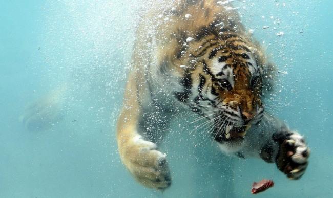 Фото прикол  про тигра