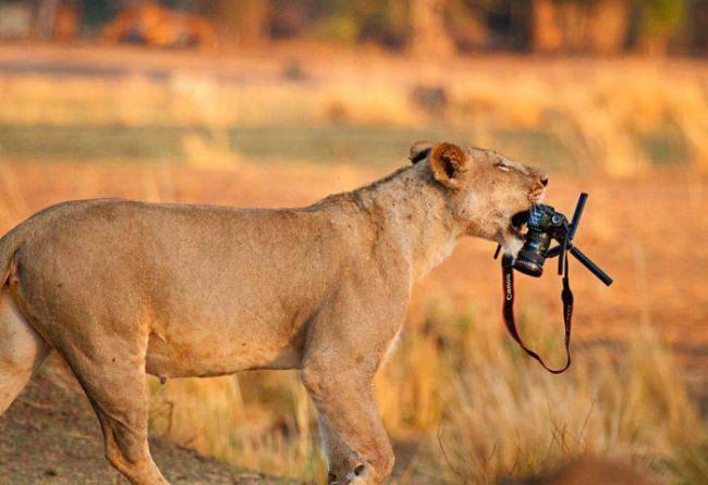 Фото прикол  про лева та фотоапарати